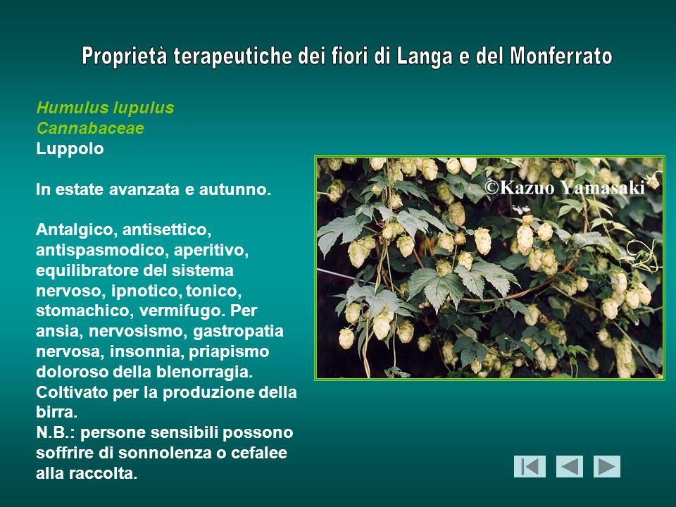 Humulus lupulus Cannabaceae Luppolo In estate avanzata e autunno. Antalgico, antisettico, antispasmodico, aperitivo, equilibratore del sistema nervoso