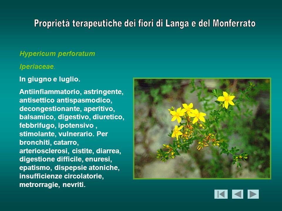 Hypericum perforatum Iperiaceae. In giugno e luglio. Antiinfiammatorio, astringente, antisettico antispasmodico, decongestionante, aperitivo, balsamic