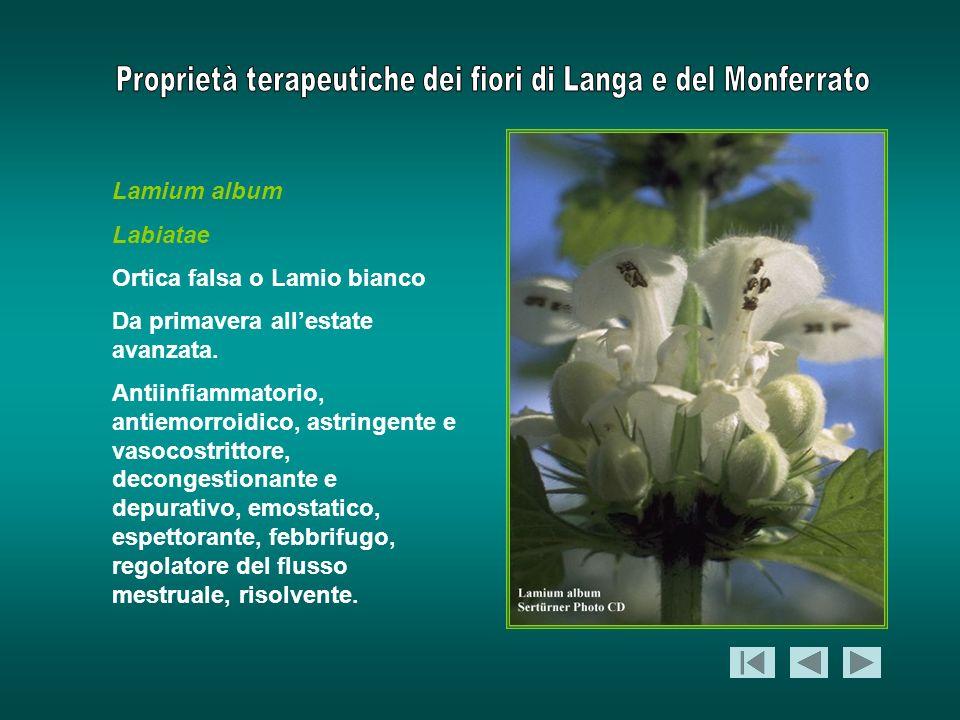 Lamium album Labiatae Ortica falsa o Lamio bianco Da primavera allestate avanzata. Antiinfiammatorio, antiemorroidico, astringente e vasocostrittore,