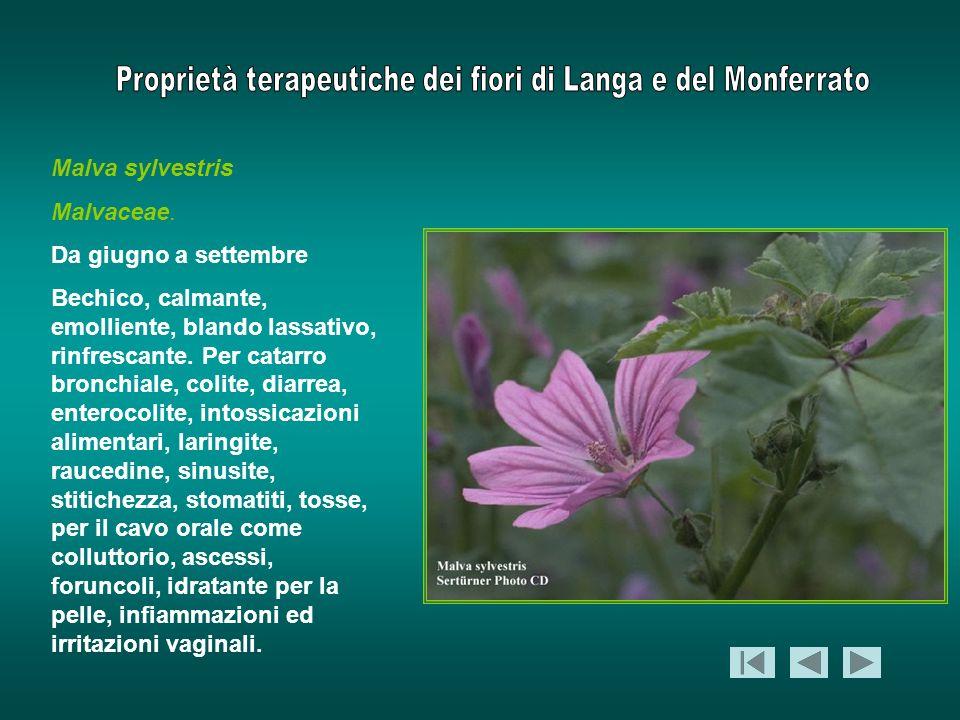 Malva sylvestris Malvaceae. Da giugno a settembre Bechico, calmante, emolliente, blando lassativo, rinfrescante. Per catarro bronchiale, colite, diarr