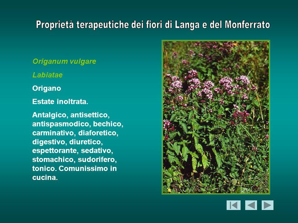 Origanum vulgare Labiatae Origano Estate inoltrata. Antalgico, antisettico, antispasmodico, bechico, carminativo, diaforetico, digestivo, diuretico, e
