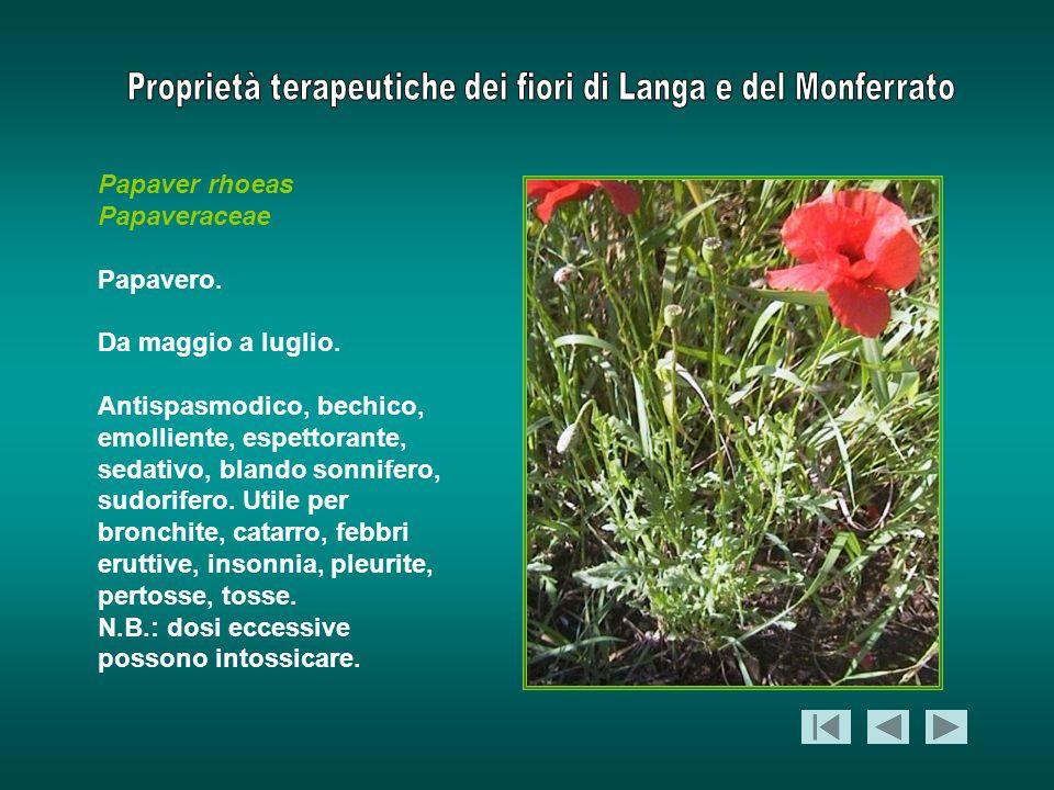 Papaver rhoeas Papaveraceae Papavero. Da maggio a luglio. Antispasmodico, bechico, emolliente, espettorante, sedativo, blando sonnifero, sudorifero. U