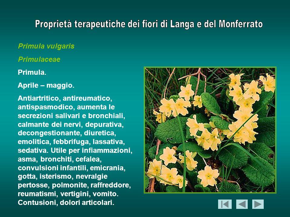 Primula vulgaris Primulaceae Primula. Aprile – maggio. Antiartritico, antireumatico, antispasmodico, aumenta le secrezioni salivari e bronchiali, calm