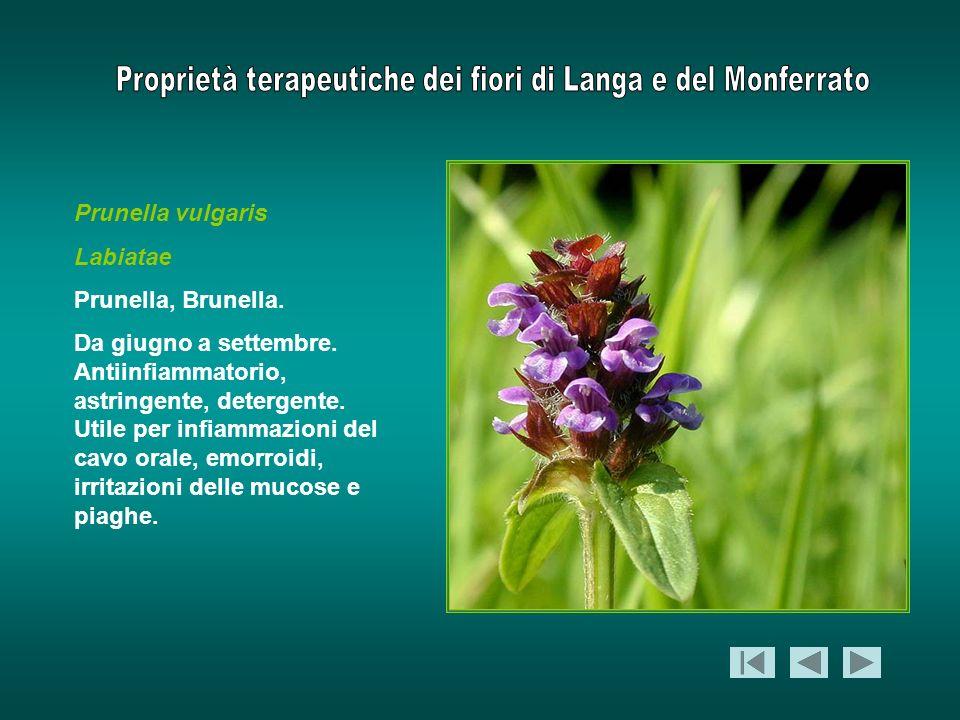Prunella vulgaris Labiatae Prunella, Brunella. Da giugno a settembre. Antiinfiammatorio, astringente, detergente. Utile per infiammazioni del cavo ora