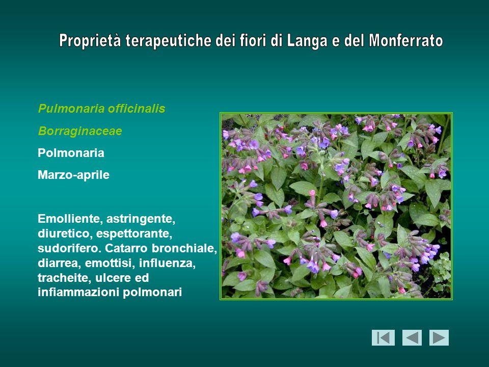 Pulmonaria officinalis Borraginaceae Polmonaria Marzo-aprile Emolliente, astringente, diuretico, espettorante, sudorifero. Catarro bronchiale, diarrea