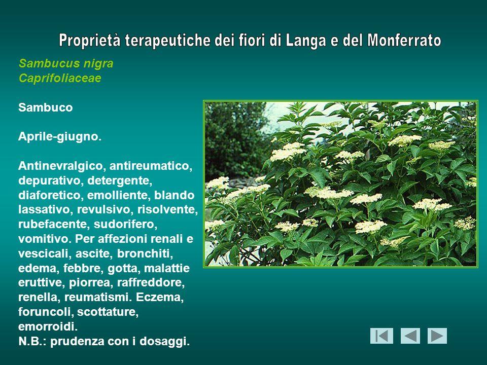 Sambucus nigra Caprifoliaceae Sambuco Aprile-giugno. Antinevralgico, antireumatico, depurativo, detergente, diaforetico, emolliente, blando lassativo,