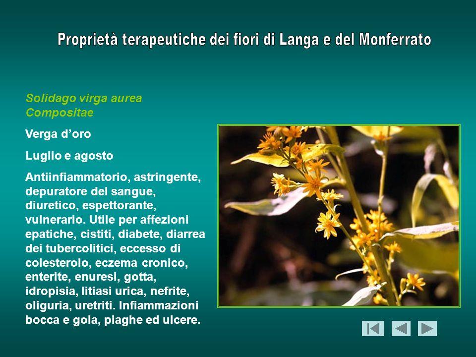 Solidago virga aurea Compositae Verga doro Luglio e agosto Antiinfiammatorio, astringente, depuratore del sangue, diuretico, espettorante, vulnerario.