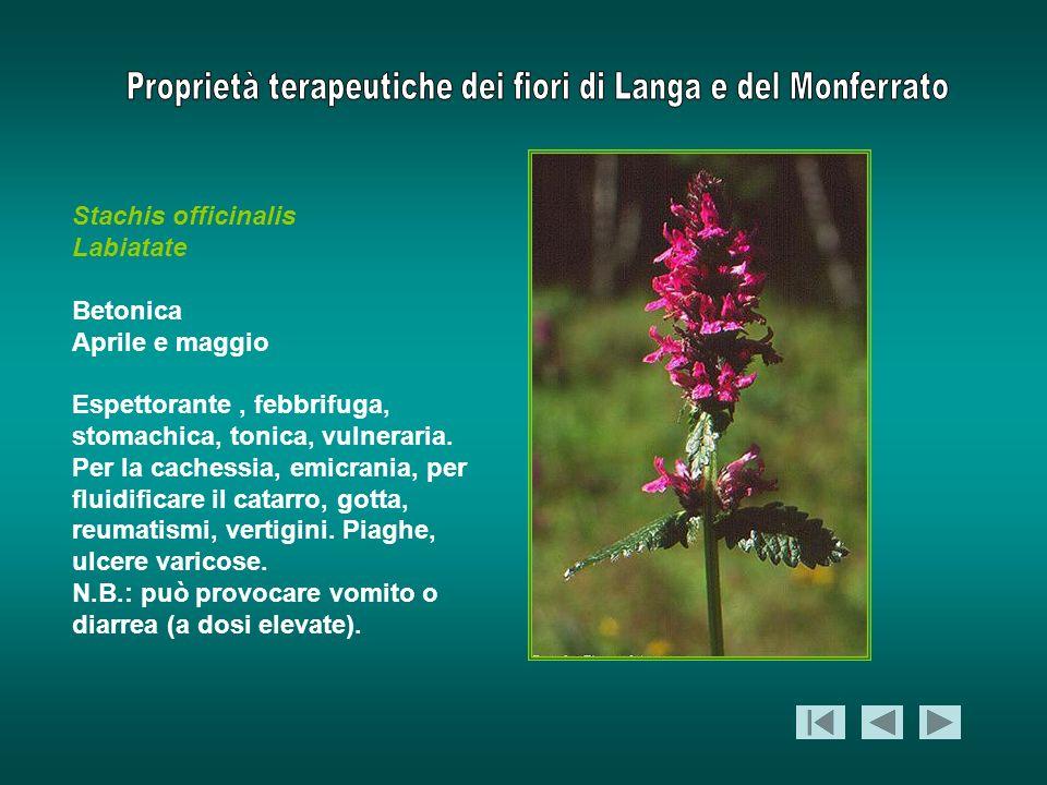 Stachis officinalis Labiatate Betonica Aprile e maggio Espettorante, febbrifuga, stomachica, tonica, vulneraria. Per la cachessia, emicrania, per flui