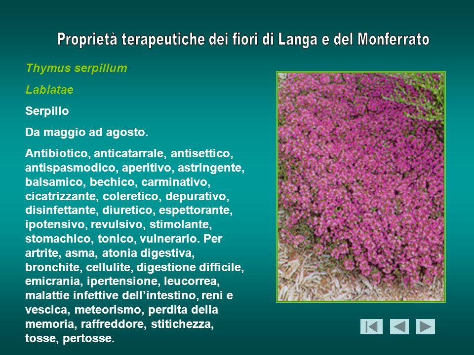 Thymus serpillum Labiatae Serpillo Da maggio ad agosto. Antibiotico, anticatarrale, antisettico, antispasmodico, aperitivo, astringente, balsamico, be