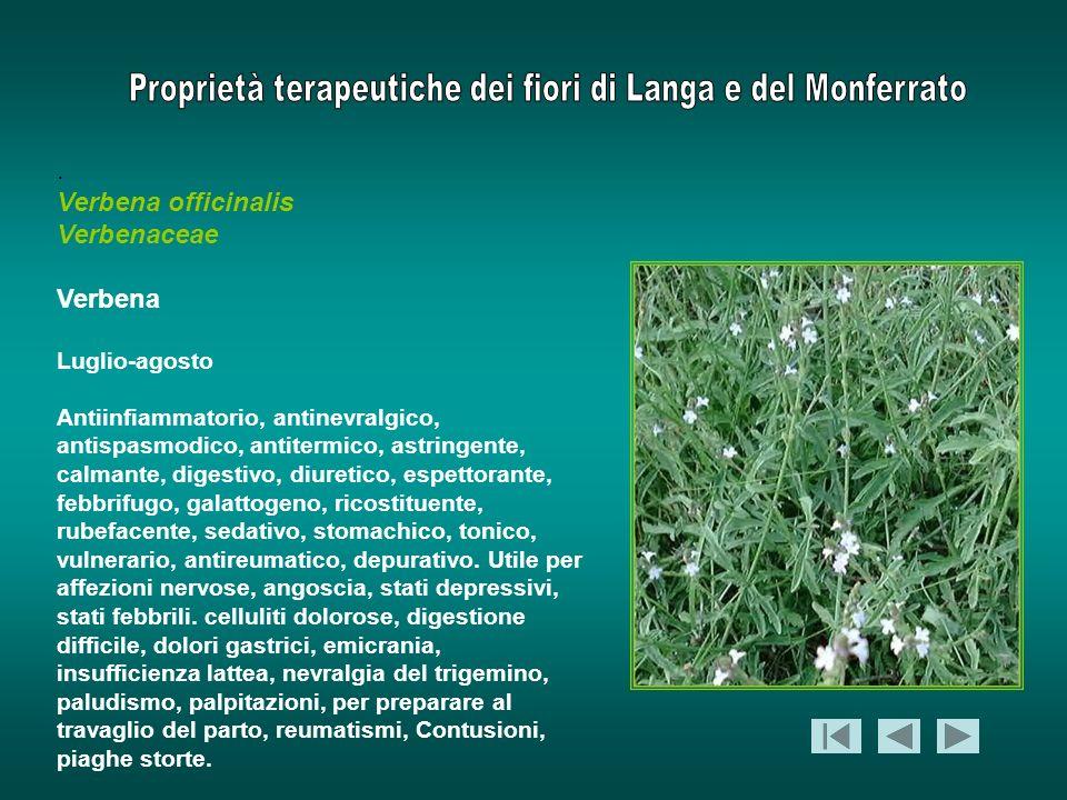 . Verbena officinalis Verbenaceae Verbena Luglio-agosto Antiinfiammatorio, antinevralgico, antispasmodico, antitermico, astringente, calmante, digesti