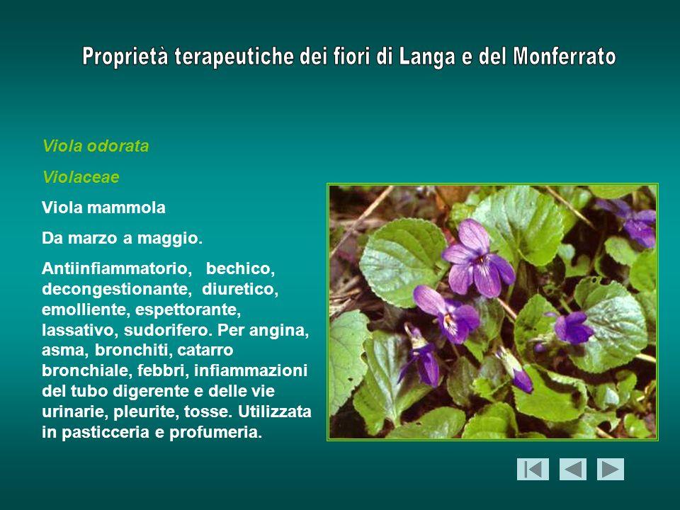 Viola odorata Violaceae Viola mammola Da marzo a maggio. Antiinfiammatorio, bechico, decongestionante, diuretico, emolliente, espettorante, lassativo,