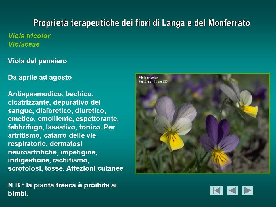 Viola tricolor Violaceae Viola del pensiero Da aprile ad agosto Antispasmodico, bechico, cicatrizzante, depurativo del sangue, diaforetico, diuretico,