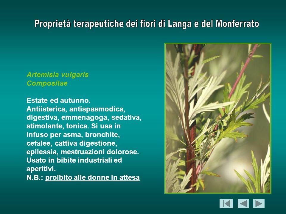 Artemisia vulgaris Compositae Estate ed autunno. Antiisterica, antispasmodica, digestiva, emmenagoga, sedativa, stimolante, tonica. Si usa in infuso p