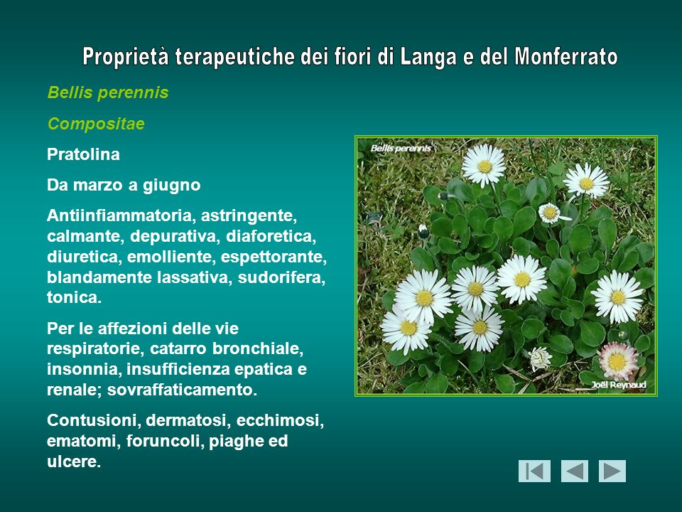 Bellis perennis Compositae Pratolina Da marzo a giugno Antiinfiammatoria, astringente, calmante, depurativa, diaforetica, diuretica, emolliente, espet