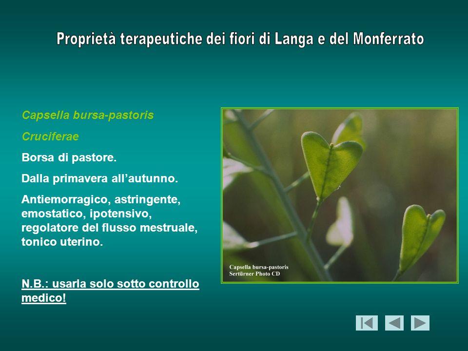 Capsella bursa-pastoris Cruciferae Borsa di pastore. Dalla primavera allautunno. Antiemorragico, astringente, emostatico, ipotensivo, regolatore del f