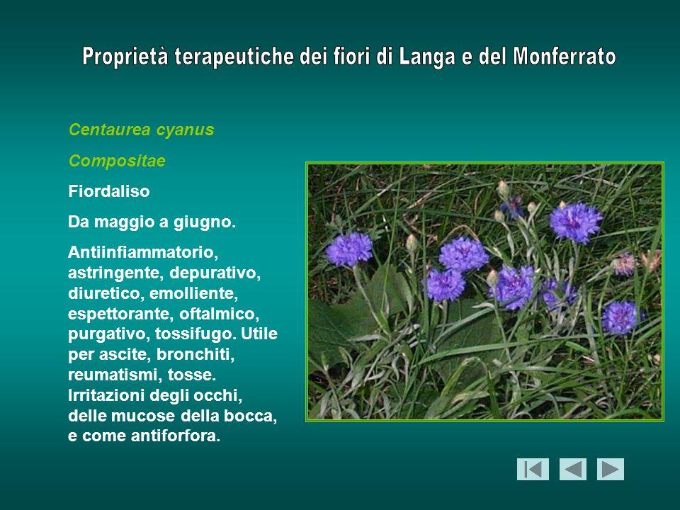 Centaurea cyanus Compositae Fiordaliso Da maggio a giugno. Antiinfiammatorio, astringente, depurativo, diuretico, emolliente, espettorante, oftalmico,