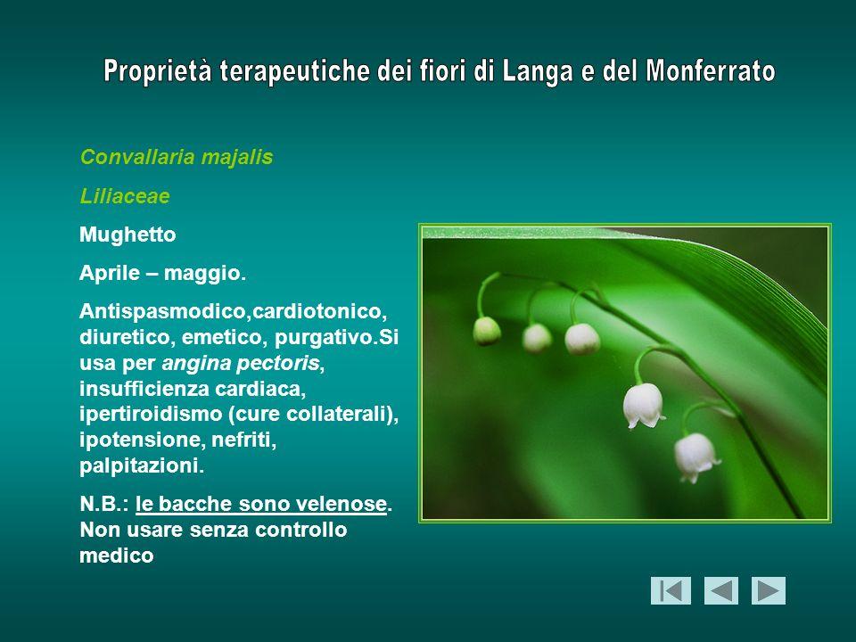 Convallaria majalis Liliaceae Mughetto Aprile – maggio. Antispasmodico,cardiotonico, diuretico, emetico, purgativo.Si usa per angina pectoris, insuffi