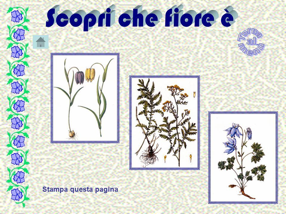 Silene vallesia L.subsp.vallesia- Silene del Vallese Fam.