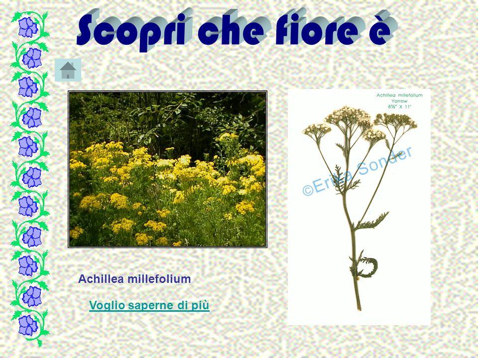 Voglio saperne di piùglio saperne di più Achillea millefolium