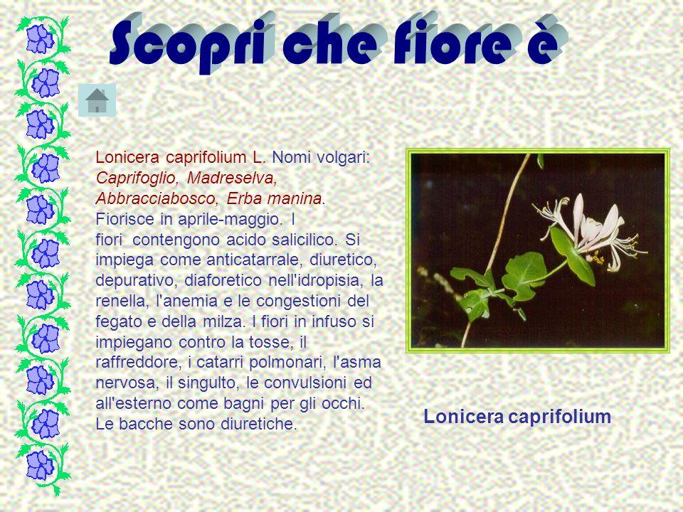 Lonicera caprifolium L. Nomi volgari: Caprifoglio, Madreselva, Abbracciabosco, Erba manina. Fiorisce in aprile-maggio. I fiori contengono acido salici