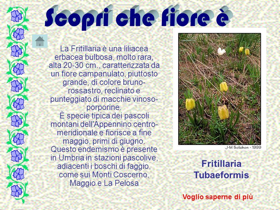 Fritillaria Tubaeformis La Fritillaria è una liliacea erbacea bulbosa, molto rara, alta 20-30 cm., caratterizzata da un fiore campanulato, piuttosto g