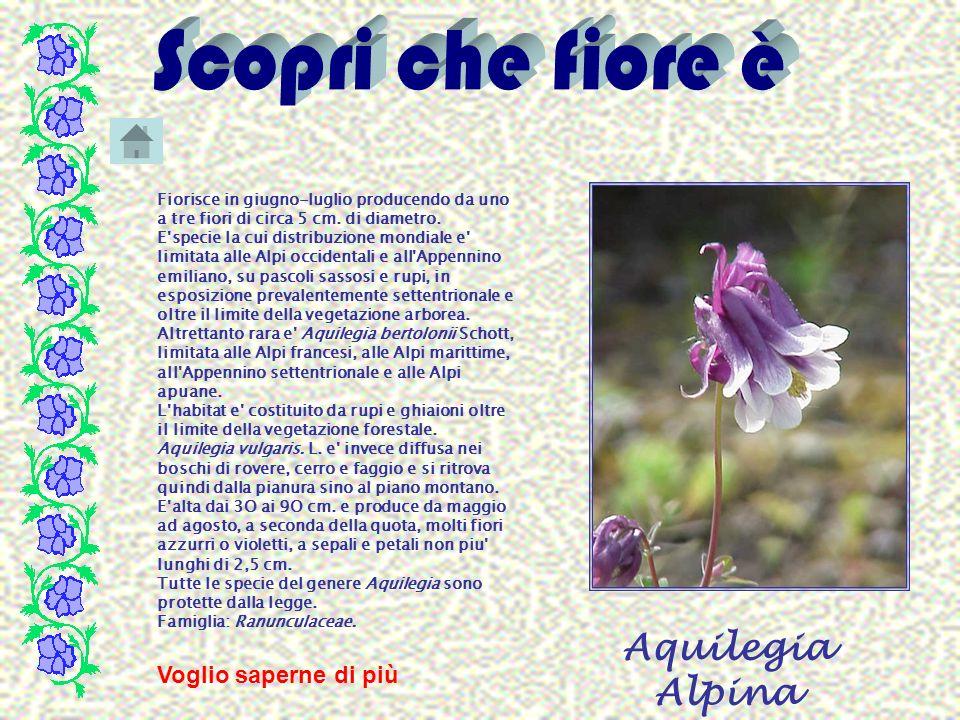 Aquilegia Alpina Fiorisce in giugno-luglio producendo da uno a tre fiori di circa 5 cm. di diametro. E'specie la cui distribuzione mondiale e' limitat