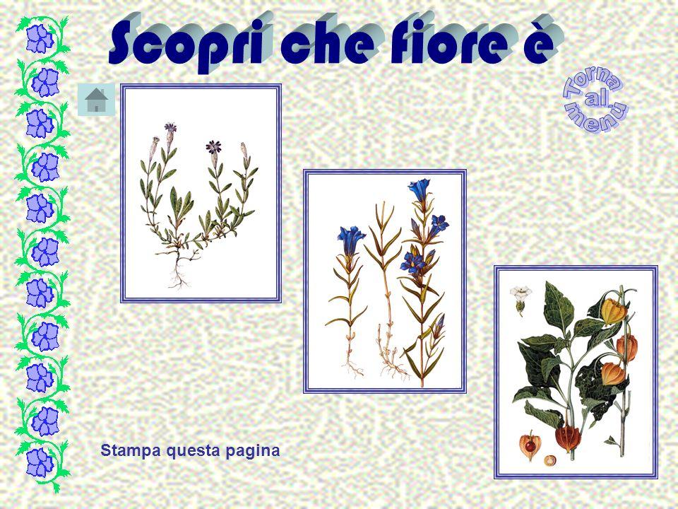 Squamosa Infiorescenza con i fiori il cui perianzio è formato da brattee o squame.