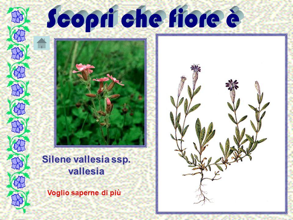 Silene vallesia ssp. vallesia Voglio saperne di più