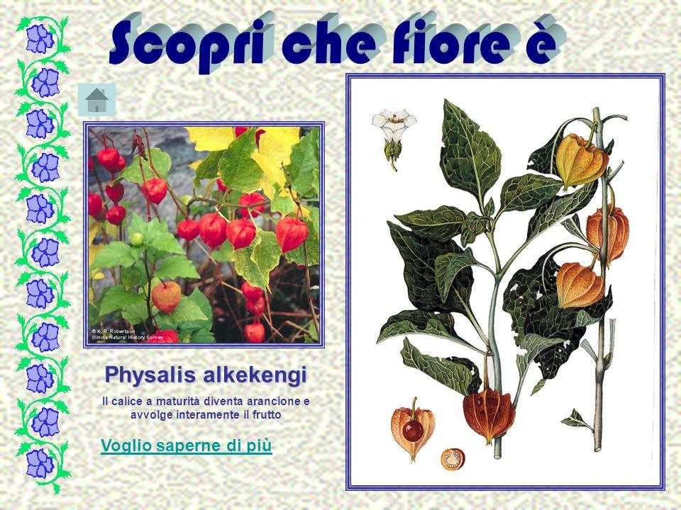 Physalis alkekengi Il calice a maturità diventa arancione e avvolge interamente il frutto Voglio saperne di più