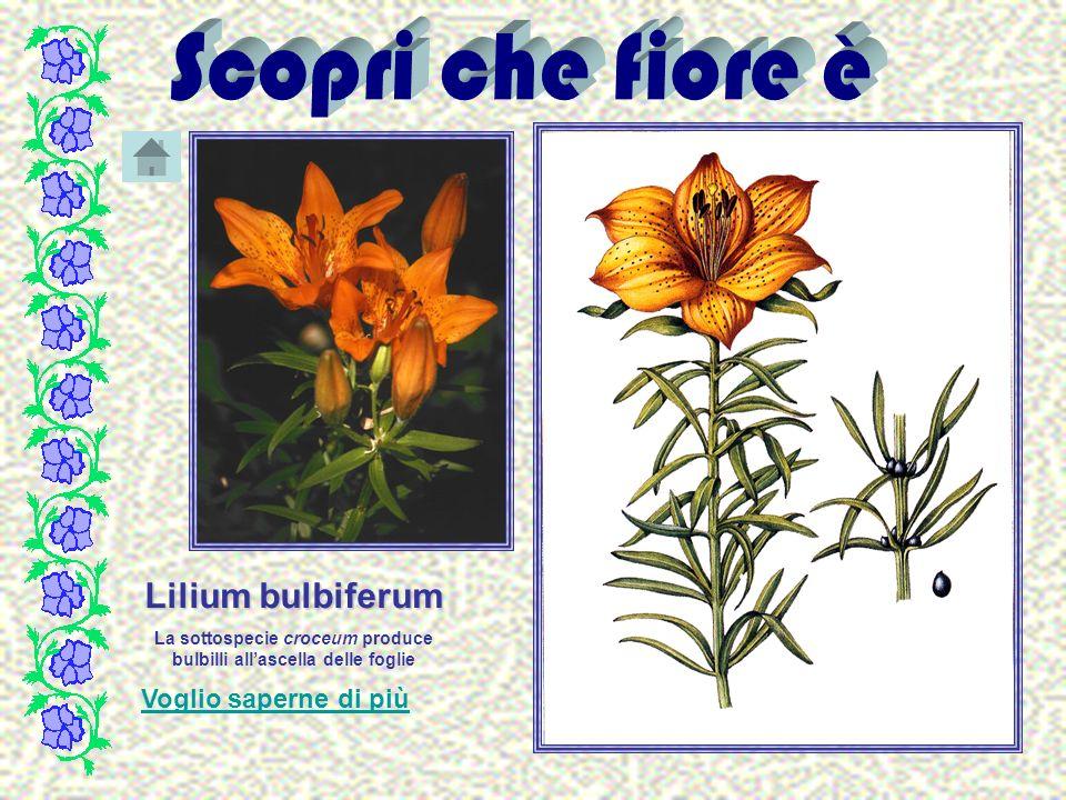 Lilium bulbiferum La sottospecie croceum produce bulbilli allascella delle foglie Voglio saperne di più
