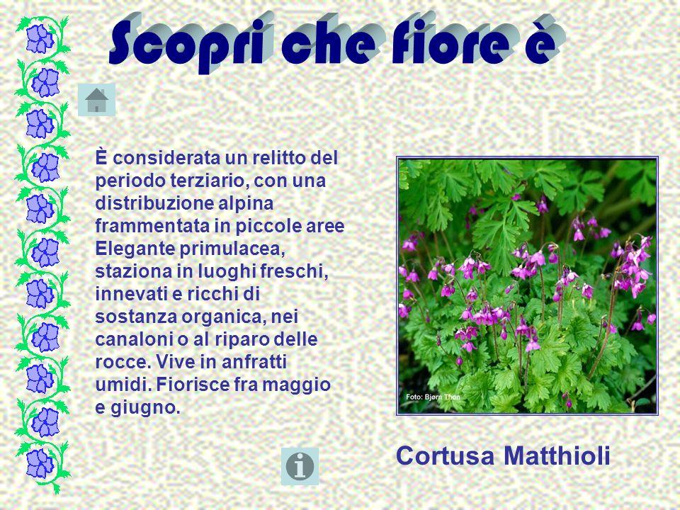 Cortusa Matthioli È considerata un relitto del periodo terziario, con una distribuzione alpina frammentata in piccole aree Elegante primulacea, stazio