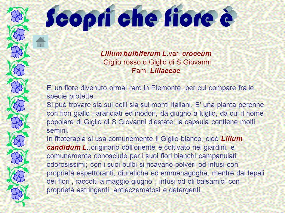 Lilium bulbiferum L.var. croceum Giglio rosso o Giglio di S.Giovanni Fam. Liliaceae E un fiore divenuto ormai raro in Piemonte, per cui compare fra le