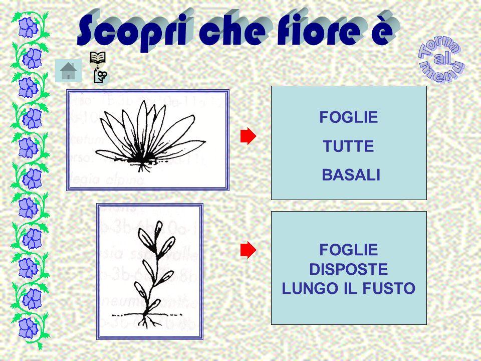 Gentiana purpurea L.– Genziana violacea Fam.
