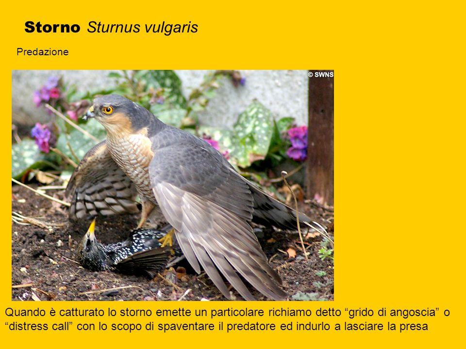 Storno Sturnus vulgaris Predazione Quando è catturato lo storno emette un particolare richiamo detto grido di angoscia o distress call con lo scopo di