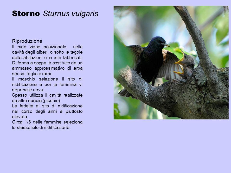 Riproduzione Il nido viene posizionato nelle cavità degli alberi, o sotto le tegole delle abitazioni o in altri fabbricati. Di forma a coppa, è costit