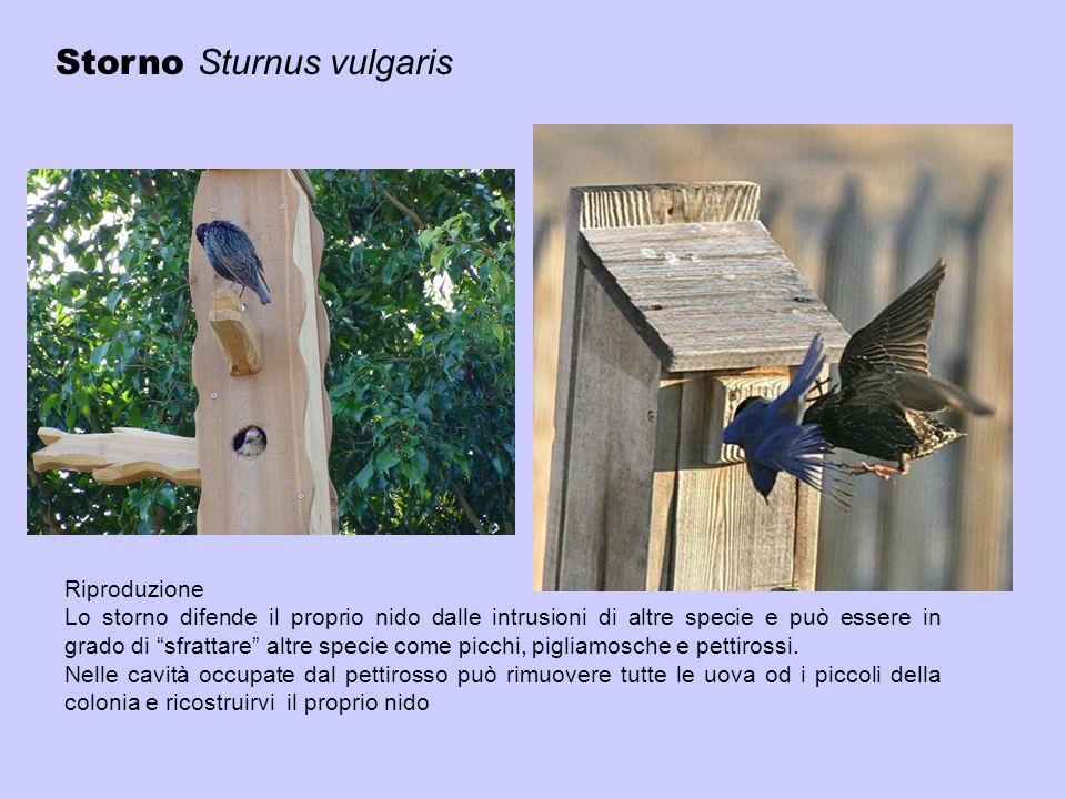 Riproduzione Lo storno difende il proprio nido dalle intrusioni di altre specie e può essere in grado di sfrattare altre specie come picchi, pigliamos
