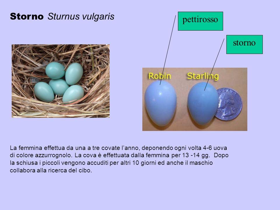 La femmina effettua da una a tre covate lanno, deponendo ogni volta 4-6 uova di colore azzurrognolo. La cova è effettuata dalla femmina per 13 -14 gg.