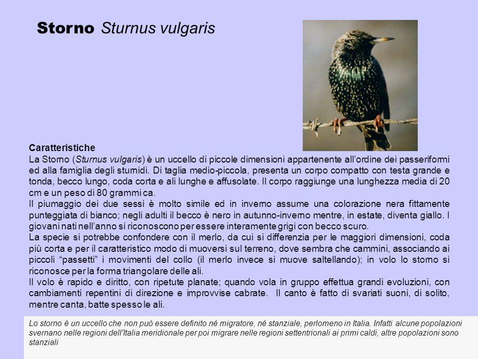 Storno Sturnus vulgaris Caratteristiche La Storno (Sturnus vulgaris) è un uccello di piccole dimensioni appartenente allordine dei passeriformi ed all
