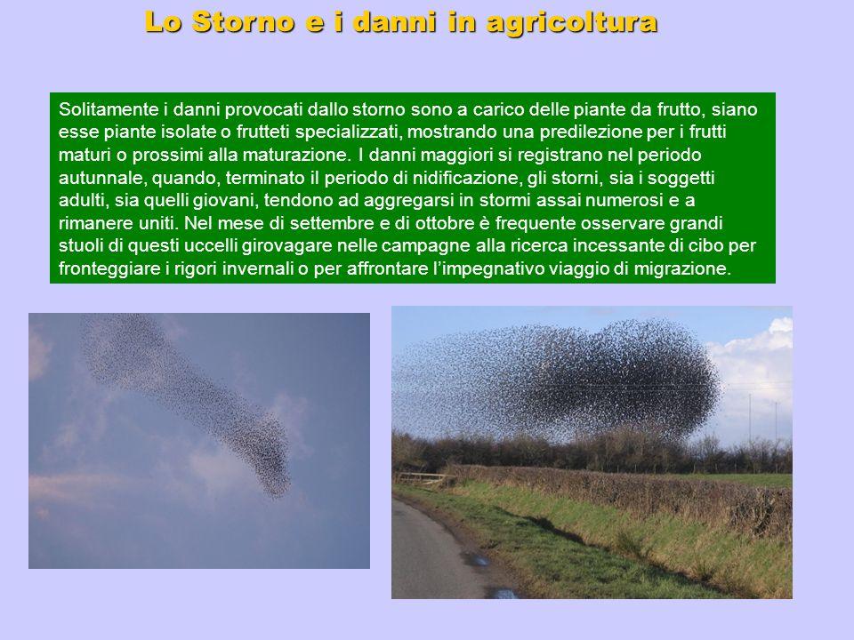 Lo Storno e i danni in agricoltura Solitamente i danni provocati dallo storno sono a carico delle piante da frutto, siano esse piante isolate o frutte