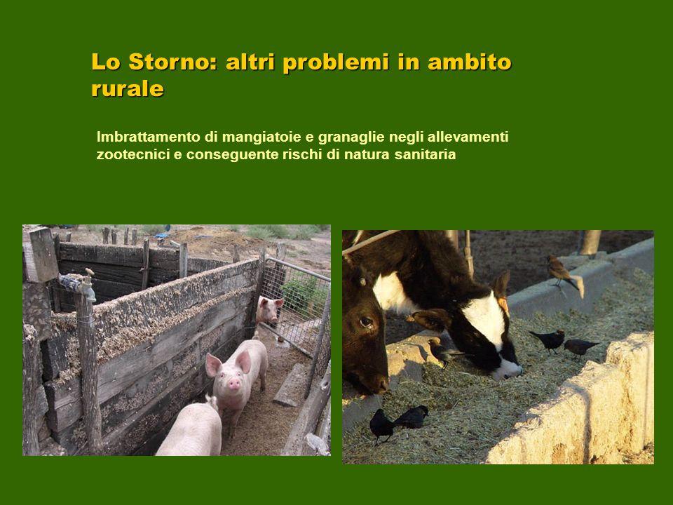 Lo Storno: altri problemi in ambito rurale Imbrattamento di mangiatoie e granaglie negli allevamenti zootecnici e conseguente rischi di natura sanitar