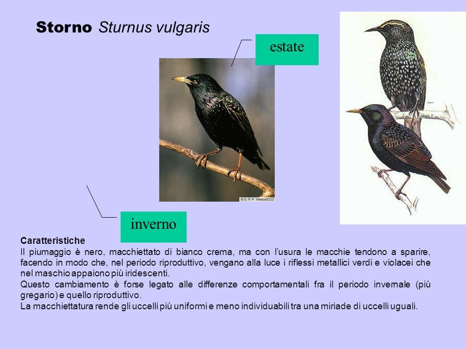 Storno Sturnus vulgaris Caratteristiche Il piumaggio è nero, macchiettato di bianco crema, ma con lusura le macchie tendono a sparire, facendo in modo