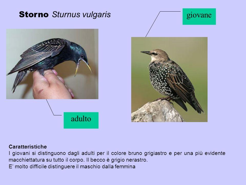 Storno Sturnus vulgaris Caratteristiche I giovani si distinguono dagli adulti per il colore bruno grigiastro e per una più evidente macchiettatura su