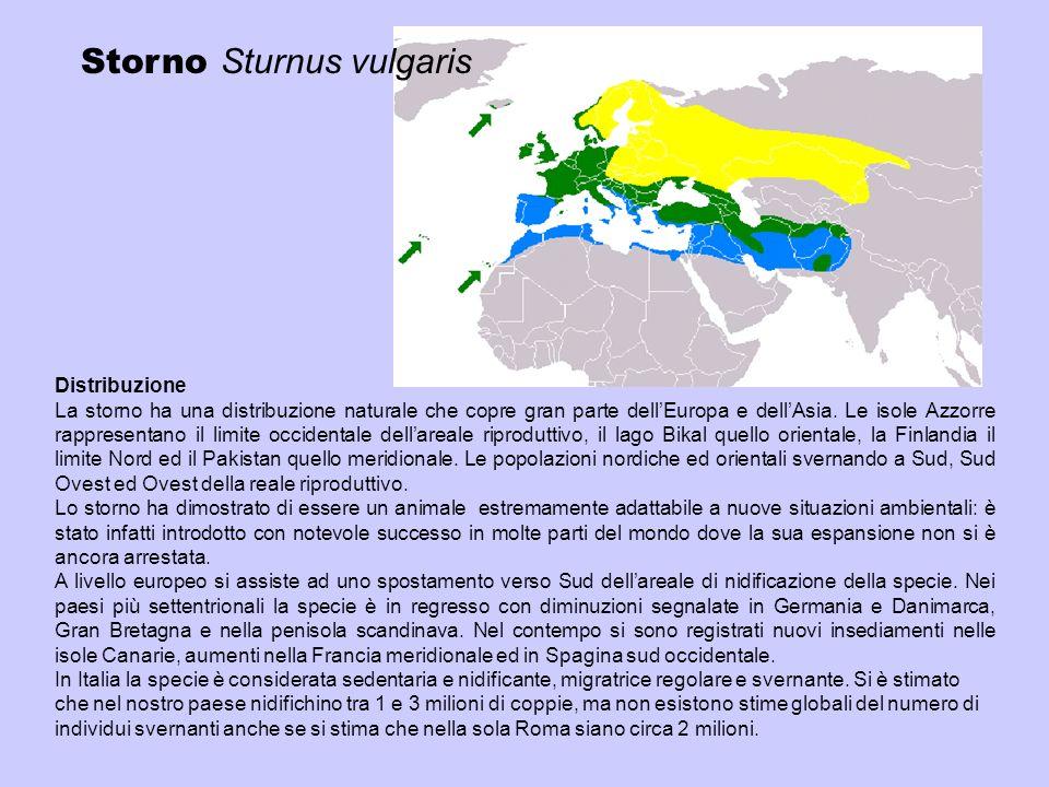 Storno Sturnus vulgaris Distribuzione La storno ha una distribuzione naturale che copre gran parte dellEuropa e dellAsia. Le isole Azzorre rappresenta