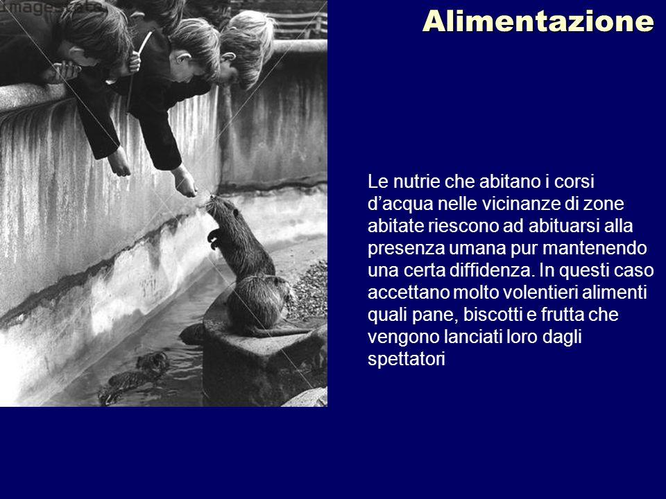 Alimentazione Le nutrie che abitano i corsi dacqua nelle vicinanze di zone abitate riescono ad abituarsi alla presenza umana pur mantenendo una certa