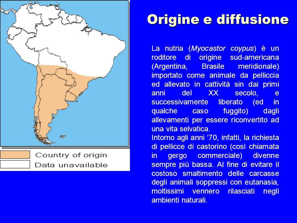 La nutria (Myocastor coypus) è un roditore di origine sud-americana (Argentina, Brasile meridionale) importato come animale da pelliccia ed allevato i