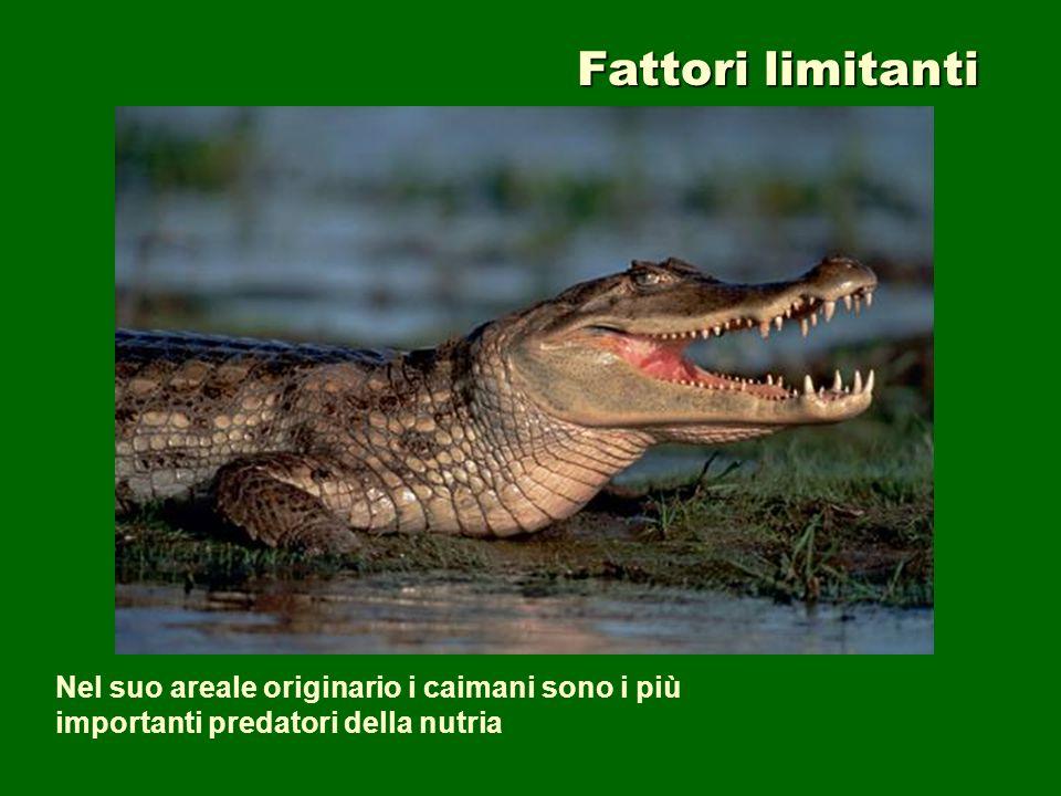 Fattori limitanti Nel suo areale originario i caimani sono i più importanti predatori della nutria