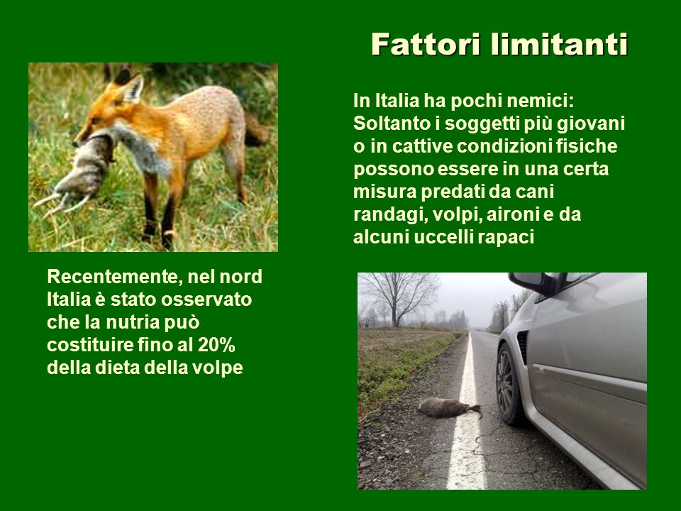 Fattori limitanti In Italia ha pochi nemici: Soltanto i soggetti più giovani o in cattive condizioni fisiche possono essere in una certa misura predat