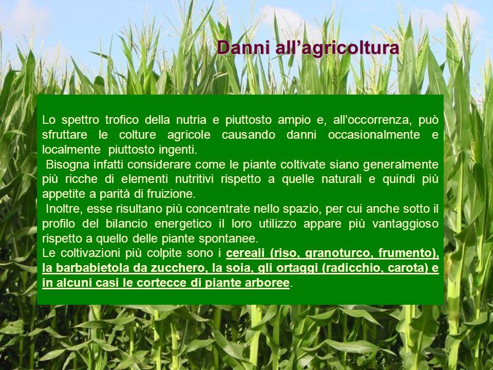 Danni allagricoltura Lo spettro trofico della nutria e piuttosto ampio e, alloccorrenza, può sfruttare le colture agricole causando danni occasionalme