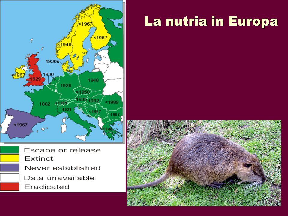 La nutria È un roditore di grossa taglia molto simile al castoro da cui si differenzia per le minori dimensioni e per la forma della coda (cilindrica nella nutria, piatta nel castoro).