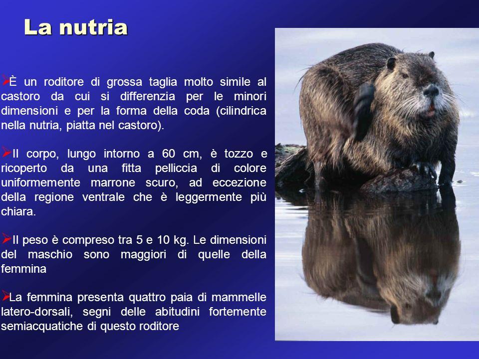 La nutria È un roditore di grossa taglia molto simile al castoro da cui si differenzia per le minori dimensioni e per la forma della coda (cilindrica